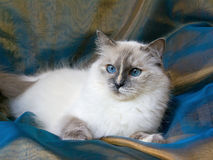 Mooie mooie kat Ragdoll Royalty-vrije Stock Foto's