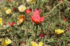 Mooie Moss Rose-bloemen in aard royalty-vrije stock foto's