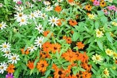 mooie multi de kleurenbloem van de de lentetuin Stock Fotografie