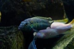 Mooie multicolored vissen op de bodem van het overzees Tropische mariene fauna stock foto's