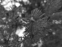 Mooie naalden en naalden van een Kerstboom of een pijnboom op een tak royalty-vrije stock fotografie