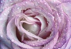 Mooie natte roze nam toe Royalty-vrije Stock Foto's