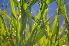 Mooie natuurlijke achtergrond Groene spruiten en bladeren van riet, riet met dalingen van water en zonlicht blur royalty-vrije stock fotografie