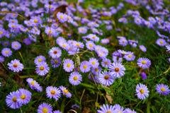 Mooie natuurlijke achtergrond van purpere chrysanten Stock Foto