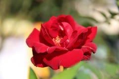 Mooie natuurlijke bloemen Stock Afbeelding