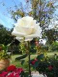 Mooie Natuurlijke Close-up Witte Romaanse Rose Botanical British Garden Fantasy stock afbeelding