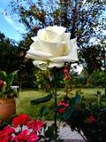 Mooie Natuurlijke Close-up Witte Romaanse Rose Botanical British Garden Fantasy stock fotografie