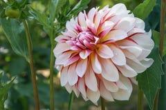 Mooie natuurlijke dahlia met grote lichte bloemblaadjes stock fotografie