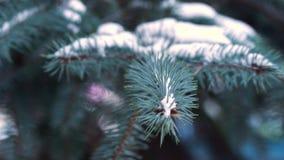 Mooie natuurlijke de winterachtergrond De boomtakken van de pijnboom die met sneeuw worden behandeld Bevroren boomtak in de winte stock video