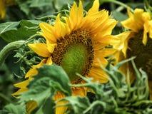 Mooie natuurlijke engel van zonnebloem Royalty-vrije Stock Foto