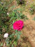 Mooie Natuurlijke Rose Flower in Tuin stock afbeelding