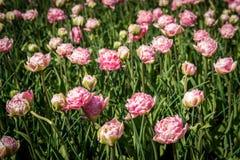 Mooie Nederlandse tulpen Stock Foto