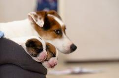 Mooie nieuw - de geboren puppy van de hefboom russel terriër, slaap zoet in een donsachtig bed Bluredachtergrond met hondwijfje e stock fotografie