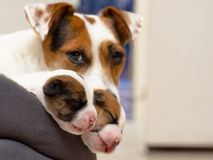 Mooie nieuw - de geboren puppy van de hefboom russel terriër, slaap zoet in een donsachtig bed Onduidelijk beeldachtergrond en ee royalty-vrije stock afbeelding
