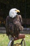 Mooie Noordamerikaanse kale adelaar royalty-vrije stock afbeeldingen
