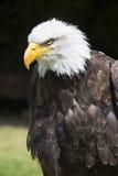 Mooie Noordamerikaanse kale adelaar stock fotografie
