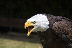 Mooie Noordamerikaanse kale adelaar stock afbeelding