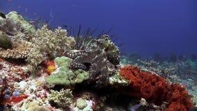 Mooie octopusjacht voor voedsel op de overzeese ertsader stock videobeelden