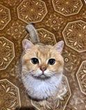 Mooie ogen van een kat stock afbeelding