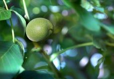 Mooie okkernoot in een groene schil Nootboom in de aard royalty-vrije stock afbeelding