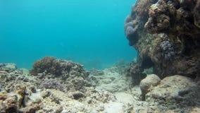 Mooie onderwaterertsader & exotische vissen stock videobeelden