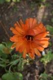 Mooie oranje bloem Royalty-vrije Stock Foto's