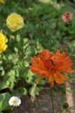 Mooie oranje bloem Stock Afbeeldingen