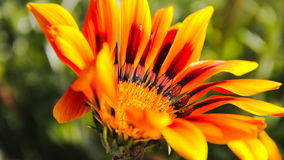 Mooie oranje bloem Stock Afbeelding