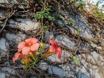 Mooie oranje bloemen en de oude, volgestopte muur stock afbeeldingen