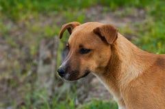 Mooie oranje hond in de aard Een hond door groen gras wordt omringd dat openlucht royalty-vrije stock foto's
