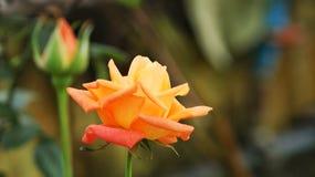 Mooie oranje kleurenrozen die in de tuin, Valentine-dag bloeien royalty-vrije stock afbeelding