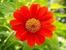 Mooie Oranje Mexicaanse Zonnebloem stock afbeelding