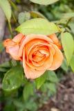 Mooie oranje nam in de tuin toe Royalty-vrije Stock Foto
