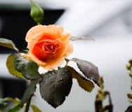 Mooie Oranje nam in een lentetijd toe bij een botanische tuin Royalty-vrije Stock Foto