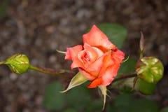 Mooie oranje nam en knoppen in de tuin toe Royalty-vrije Stock Foto's