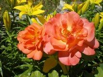 Mooie oranje nam Westerland-verscheidenheid dicht omhoog bloeiend in de zomer in de tuin toe stock foto's