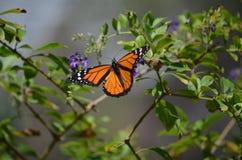 Mooie Oranje Onderkoningvlinder Klaar op te stijgen royalty-vrije stock afbeelding