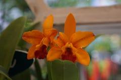 Mooie oranje orchidee Royalty-vrije Stock Fotografie