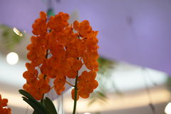 Mooie oranje orchidee Stock Afbeelding