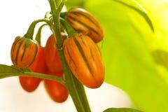Mooie oranje peper die op een tak rijpen royalty-vrije stock afbeelding