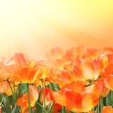 Mooie oranje tulpen stock afbeeldingen