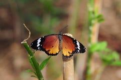 Mooie oranje vlinder in de aard Royalty-vrije Stock Foto's