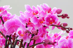 Mooie Orchideeën royalty-vrije stock afbeelding
