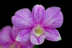 Mooie Orchideeën Royalty-vrije Stock Foto