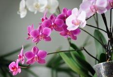 Mooie Orchideeën stock foto