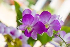 Mooie Orchidee Stock Afbeeldingen