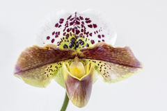 Mooie Orchidee Royalty-vrije Stock Afbeeldingen