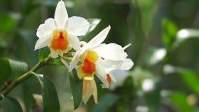 Mooie orchidee in de tuin stock video