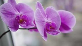 Mooie orchidee die zich op het venster bevinden stock footage