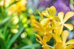Mooie orchidee geel in tuin Stock Fotografie